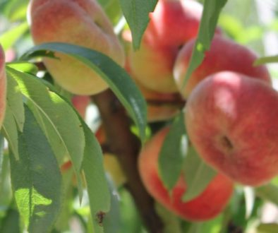 Starting Your Own Home Orchard, Allingtons Lawn & Garden Care