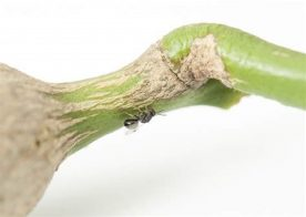 Gall Wasp Treatment