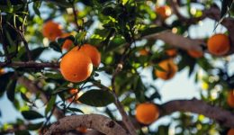 Gall Wasp Treatment - Save Your Citrus Trees!